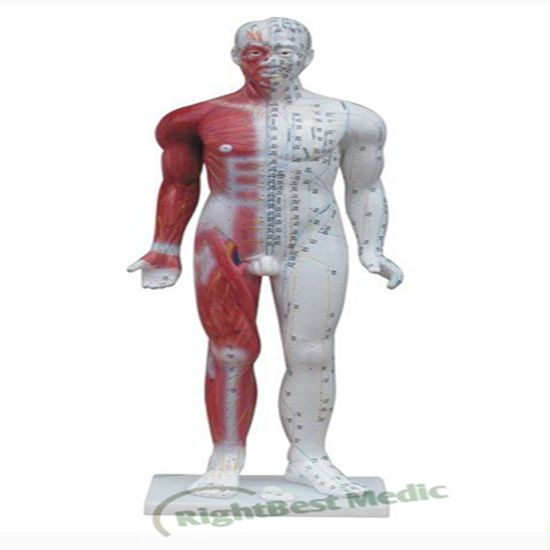 84CM Male Human Body Acupuncture Point Model